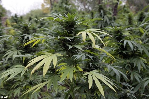 Marijuana field discovered, seized; three Bahamian males arrested in Abaco