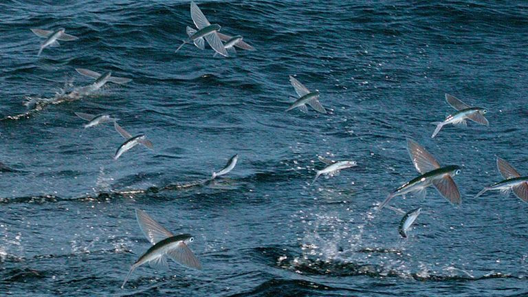 Seven-country initiative launched to support management of four-wing flyingfish