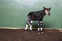 London Zoo names okapi 'Meghan' to celebrate royal wedding