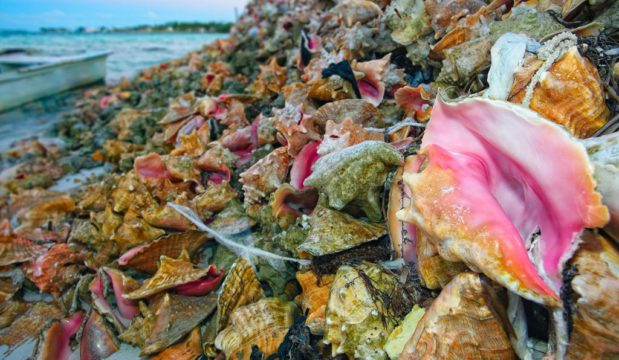 Survey: opposition of a conch export ban