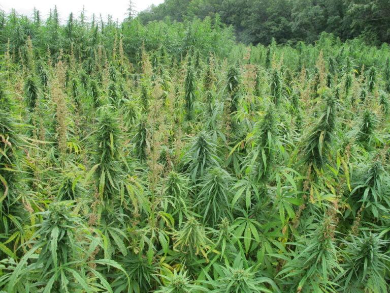 ANOTHER MAJOR DRUG BUST: 7,000 marijuana plants valued at $7M seized on GB